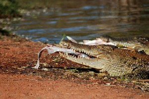 Crocodile in Broome Western Australia 300x200 Travel to The Most Stimulating Adrenaline and Extreme Vacation Tourism Places in the World