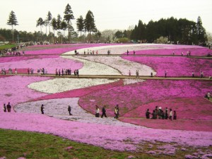 Hitsujiyama park Phlox subulata 2005 300x225 Hitsujiyama Flower Festival, The Beautiful Pink Ocean Japanese Party
