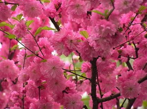 Sakura Blossom 300x224 Best Sakura View Festival Places in Japan