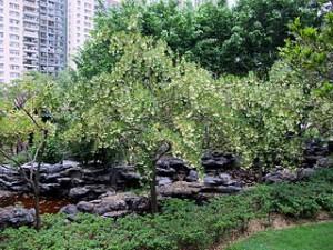 Elaeocarpus hainanensis 300x225 Travel Ideas in Hongkong, The Lai Chi Kok Park
