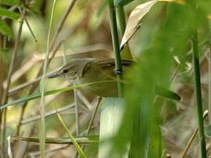 Oriental Reed warbler hk 300x225 The Amazing Natural Beauty Of Mai Po Nature Reserve Park Garden