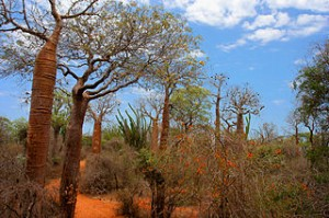 Spiny Forest Ifaty Madagascar 300x199 Holiday to The Place Most Bizzare Animals That You Should Know