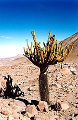 Browningia candelaris 1 Swim On Desert in Brazil
