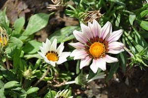 Sibling 300x199 Flower in Desert, Dubai Miracle Garden