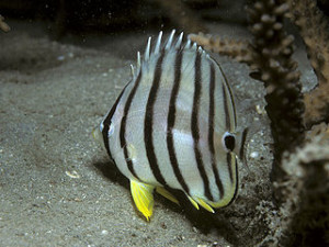 Bep chaetodon octofasciatus 300x225 Join with Odyssey Submarine in Bali
