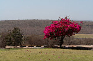 Bougainvillea Sanchi Madhya Pradesh India 300x199 A Hidden Poetry in Madhya Pradesh