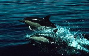 Dolphins_300