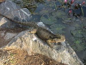 Australian-lizard
