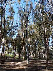Singing_Tree,_UCSD