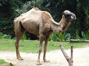 Camelus_dromedarius_in_Singapore_Zoo