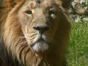 African_Lion_Face